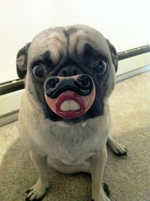 perro pug con unos dietes y bigotes