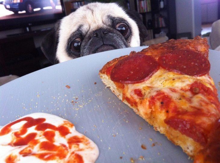 Pug observando un pedazo de pizza