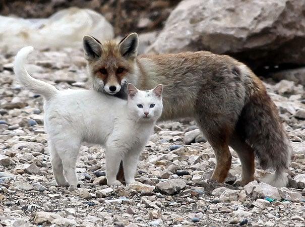 zorro junto a un gato