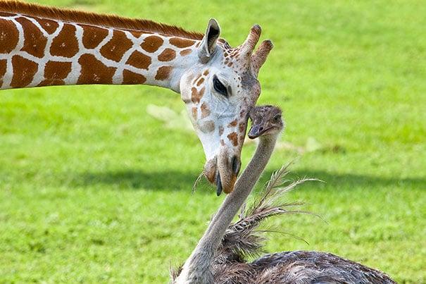 jirafa y avestruz recargando cabeza con cabeza
