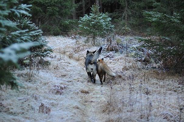 perro y zorro caminando uno junto al otro en medio del bosque
