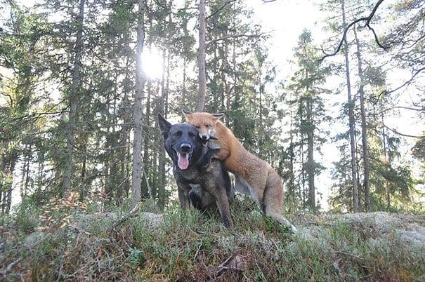 zorro salvaje y perro recargados en una piedra