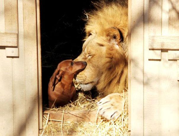 perro salchicha mordiendo en la boca a un león