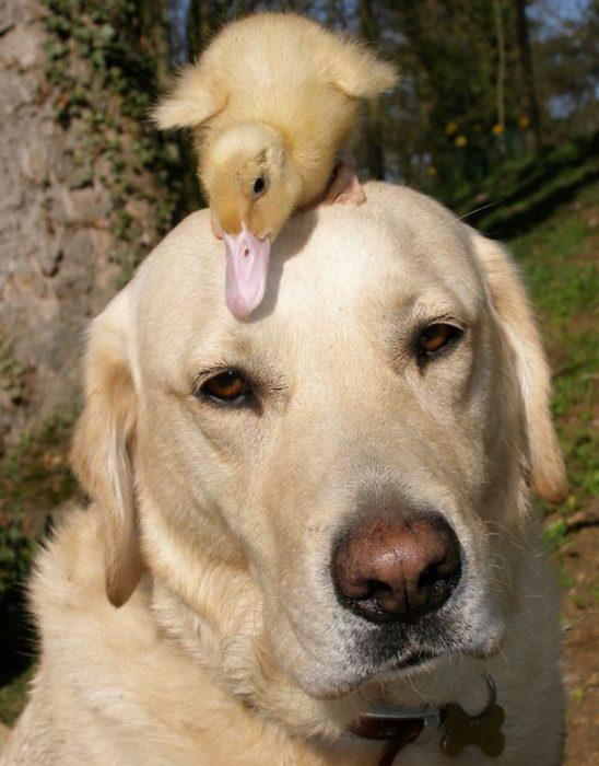 perro labrador con un pato sobre su cabeza