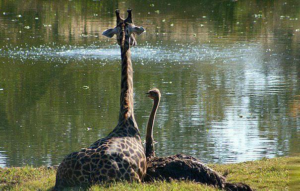 avestruz y jirafa sentadas en el pasto viendo un estanque