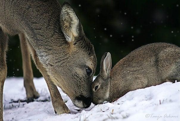 ciervo y conejo jugando en la nieve tocándose su anriz