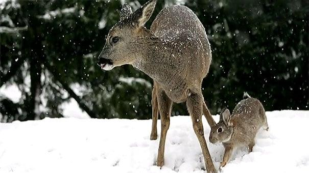ciervo y conejo jugando en la nieve