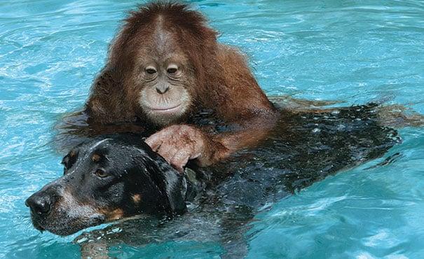 orangutan nadando junto a un perro en una piscina
