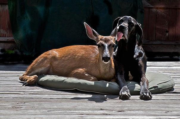 perro gran danés lamiendo la oreja a un ciervo