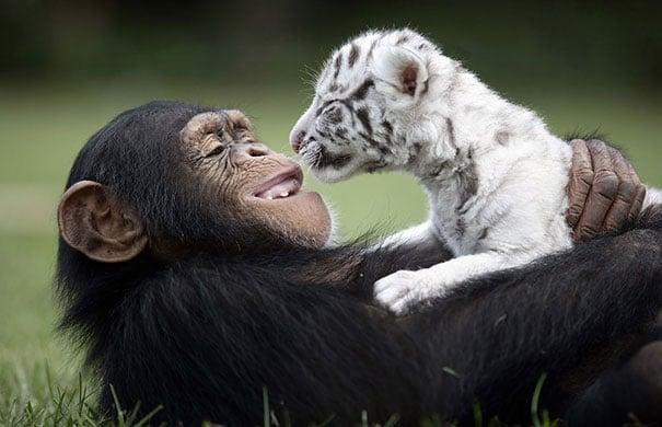 chango cargando en brazos a un tigre blanco