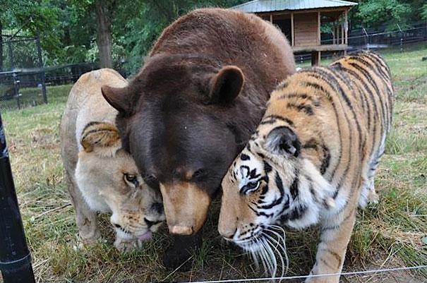 oso, tigre y león juntos en una reserva de animales