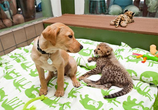 perro labrador bebé y cheetah bebé juntos en una cuna