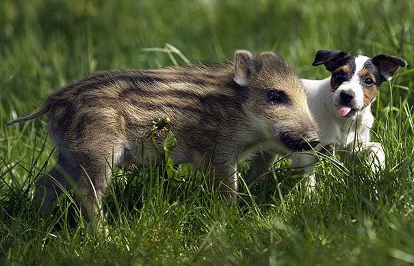 bebé jabalí y perrito jugando en el pasto