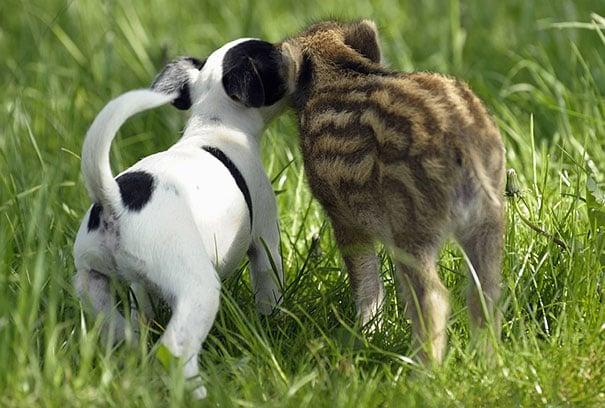 jabalí bebé y perrito jugando juntos