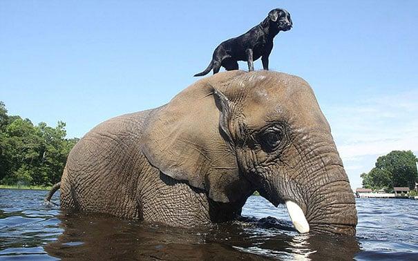 perro negro labrador sobre un elefante en medio de un estanque