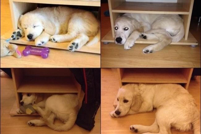 cachorros dormidos en una caja y después de crecer ya no caben