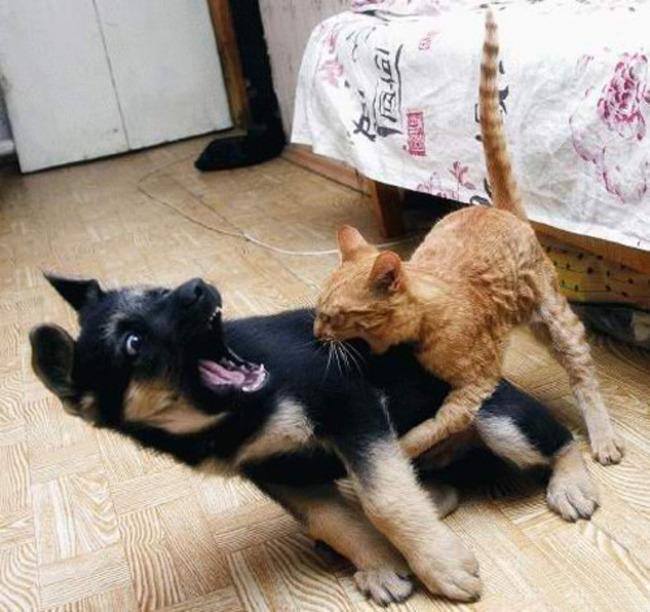 perro peleando con el gato