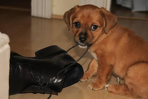 cachorro mordiendo un zapato color negro