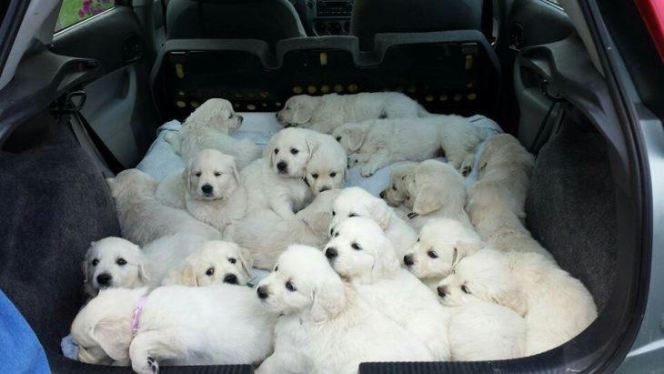 cachorros labrador en una camioneta