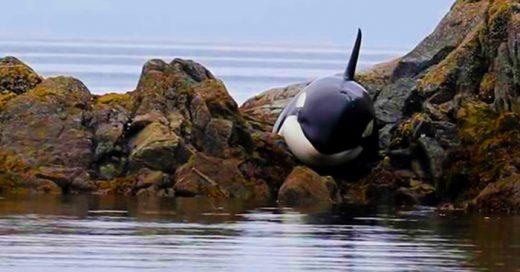 Una orca quedó ATRAPADA en las rocas y lloró desconsoladamente pidiendo AYUDA. Por suerte ellos llegaron