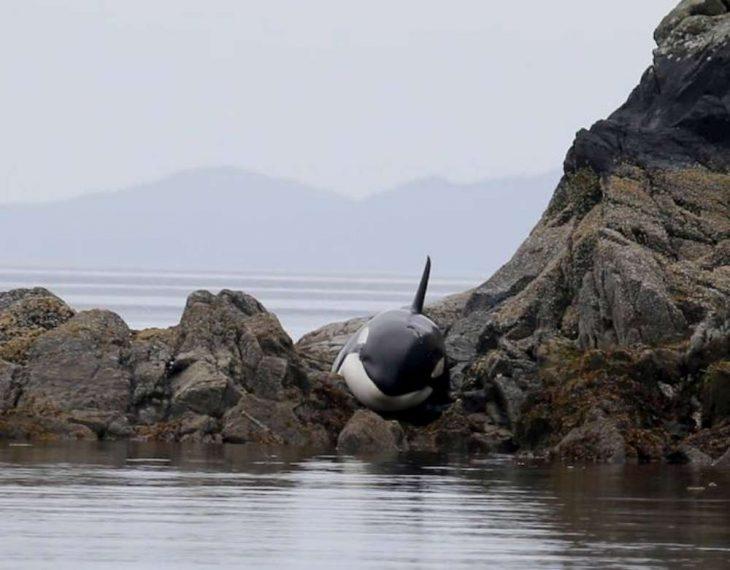 Orca varada en la bahía llorando