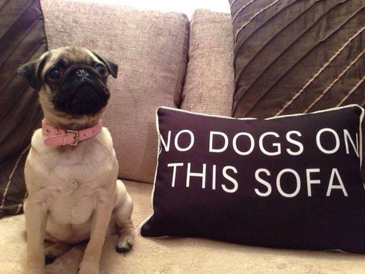 Perro pug recostado en el sofá