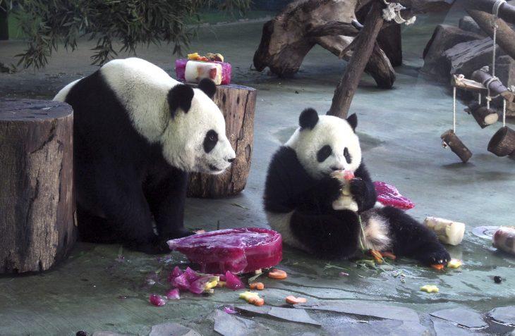 Panda comiendo fruta junto a otro en el zoológico