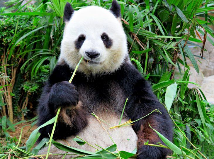 Panda comiendo un trozo de bambu mientras está sentado entre la hierva en un zoológico