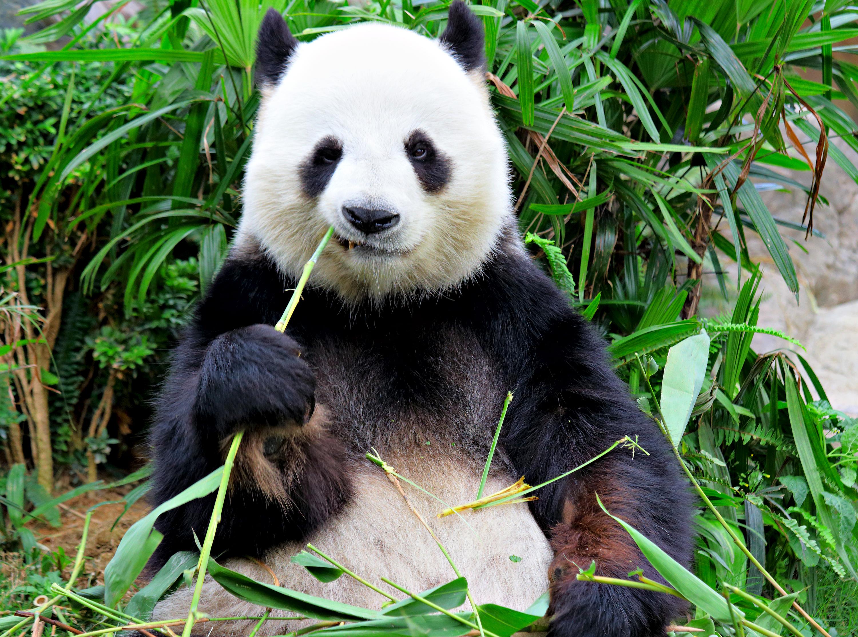 Esta Panda Fue Acusada De Fingir Un Embarazo Por Comida
