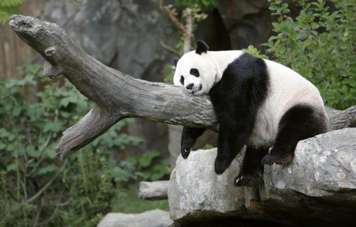 Panda gigante dormido sobre un tronco que se encuentra en un zoológico