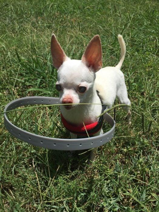 Perro con un collar de plástico al rededor de su pecho jugando en el pasto