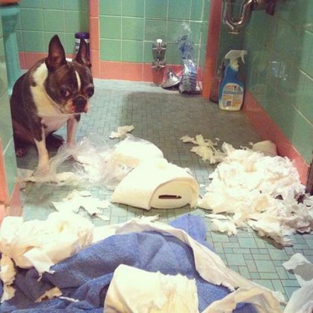 Perro Bull Dog francés que rompió un papel de baño