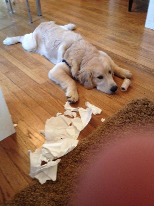 Perro golden que rompió un papel de baño