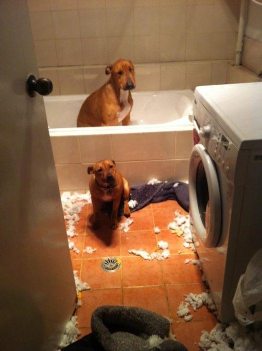 Perros regañados en el baño