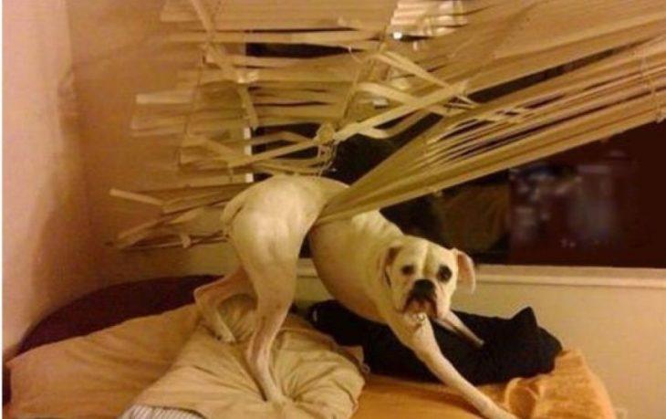 Perro atorado en las persianas
