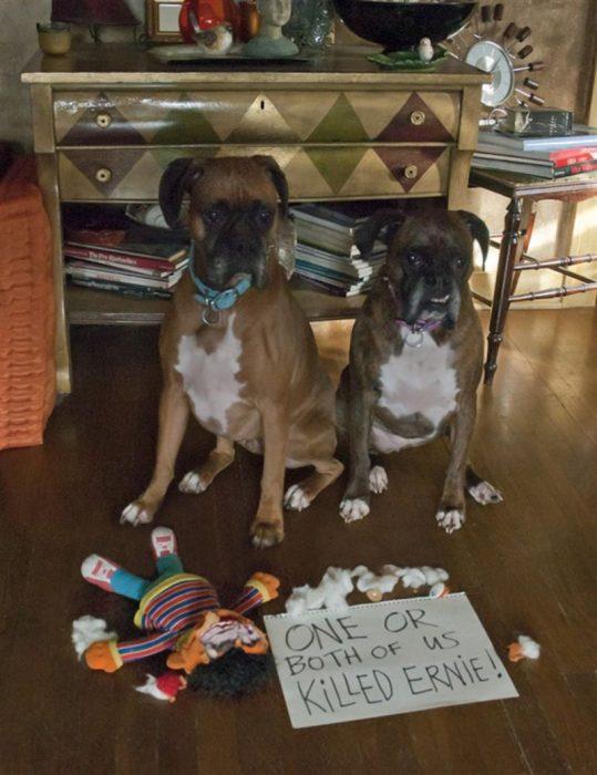 Perros que rompieron el peluche