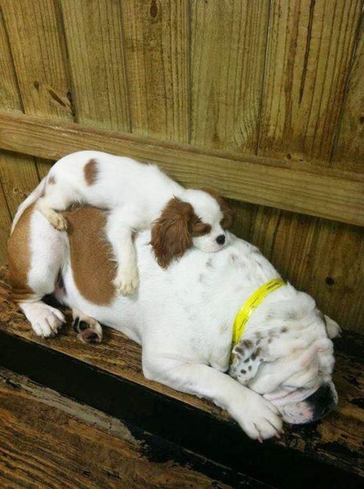 perrito dormido sobre otro más grande