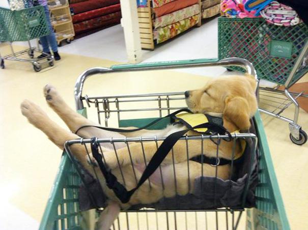 perrito dormido en el carro del supermercado