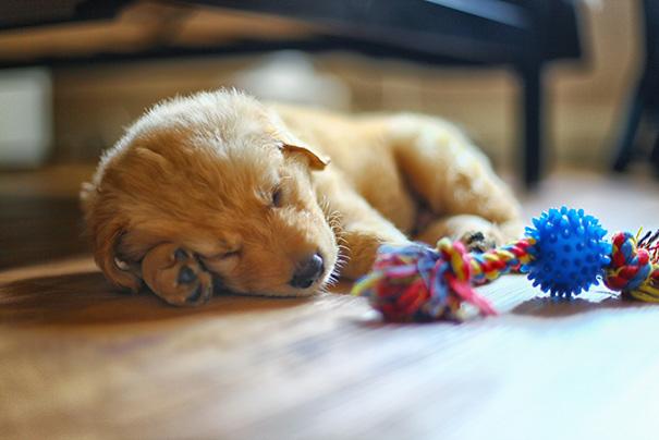 perrito dormido junto a su juguete