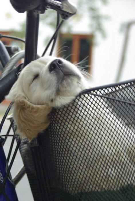 perrito dormido en la canastilla de una bicicleta