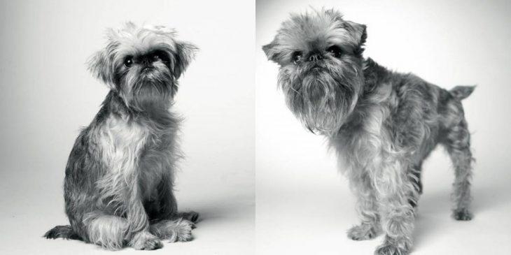 retrato de un perrito peludo cuando era pequeño y después en su vida adulta
