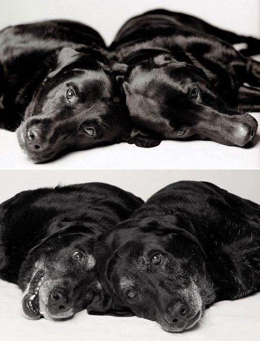 Par de perritos fotografiados cuando eran cachorros y después cuando eran adultos