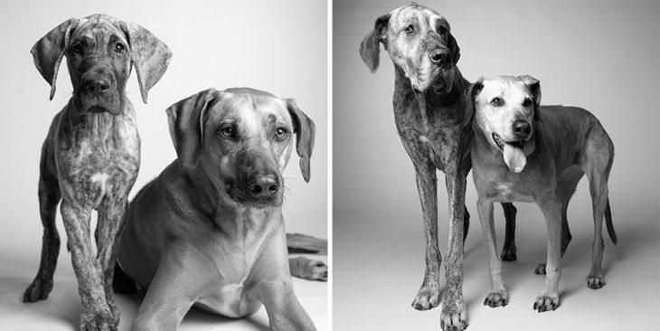 retrato de perritos en su juventud y después en su vida adulta