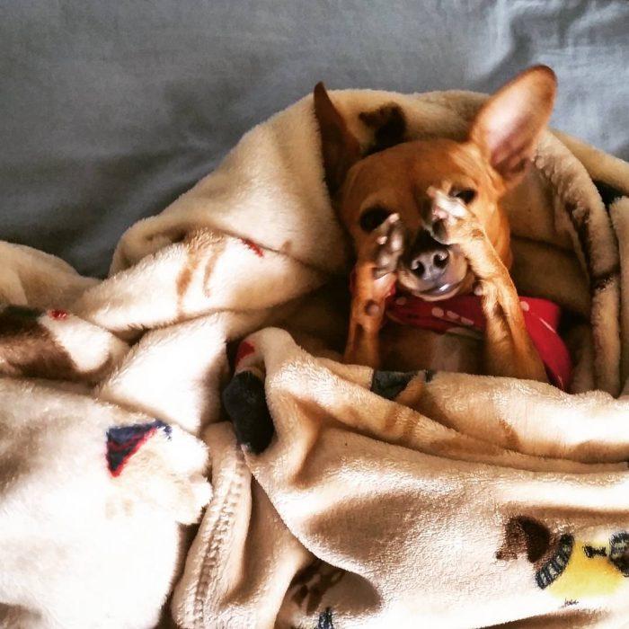 Perro chihuahua apenado