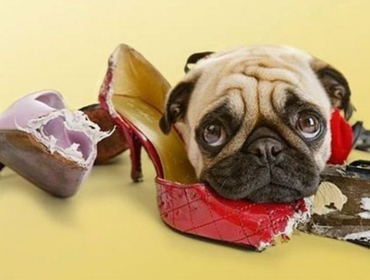 perro pug zapatos mordidos