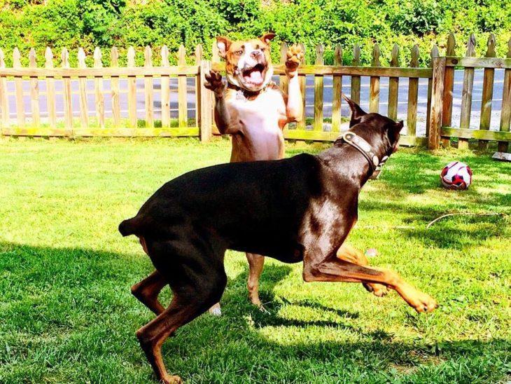 Theodore pit bull y doberman Duncan