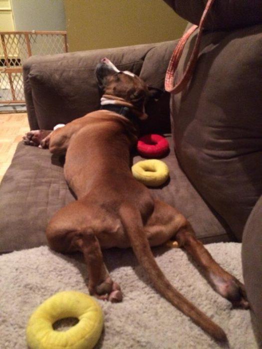 Theodore pit bull recostado en sofá