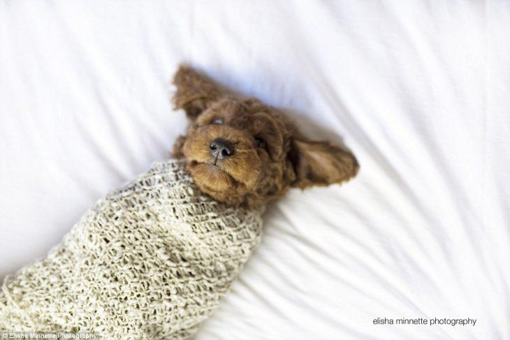 Cachorro envuelto en una cobija mientras está recostado en la cama