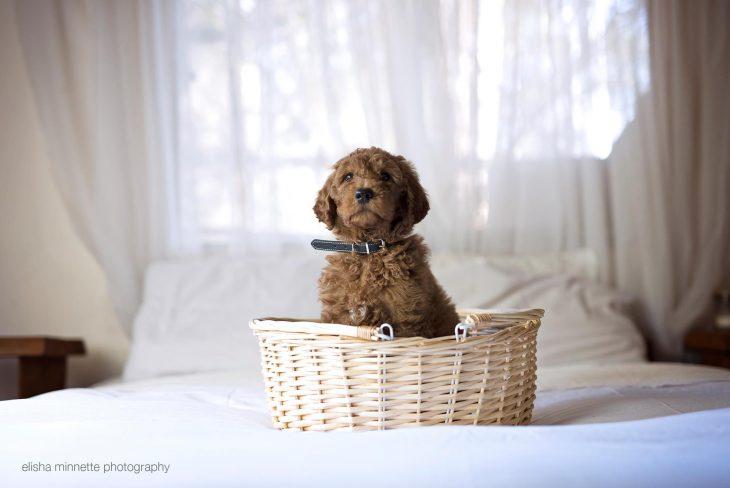 Cachoro sentado en una canasta mientras está sobre la cama
