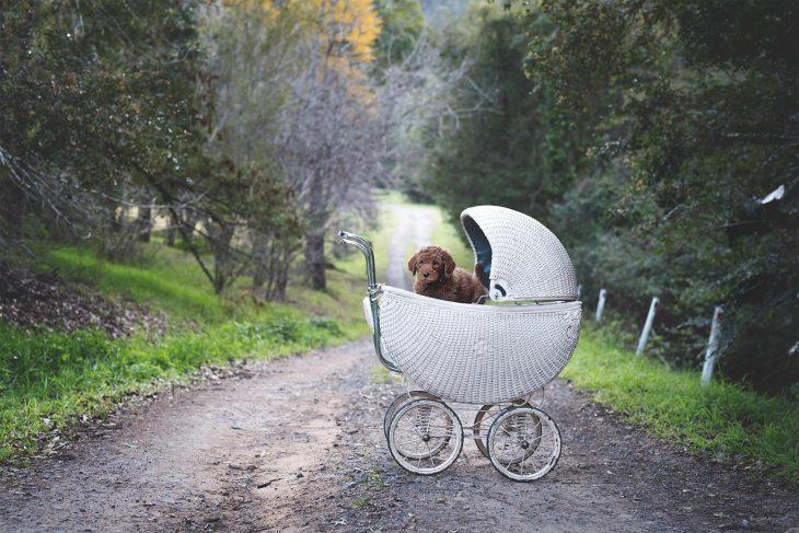 Cachorro adentro de una carriola para bebé